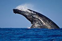 Humpback whale (Megaptera novaeangliae) doing a head-lunging breach, Hawai'i.