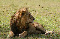 An old alpha male lion, shows the scars of so many battles, as he rests on the plains of the Serengeti, Tanzania. (PHOTO: MIGUEL JUAREZ LUGO).