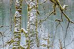 Skagit Valley, Washington, alders