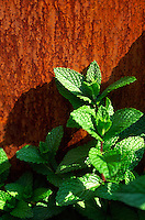 Close-up of mint against the rusted steel base of a pedestal