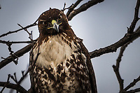 Cropped close-up of a Red-tailed hawk staring.  Challenging. Or maybe just querying.