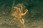 Walking on its tentacles is this Poison ocellate octopus (Octopus mototi).