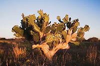 Texas Prickly Pear Cactus, Opuntia lindheimeri, plant, Sinton, Corpus Christi, Coastal Bend, Texas, USA