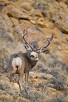 Mule deer buck in western Wyoming during the autumn rut