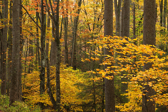Autumn forest, Unaka Mountains