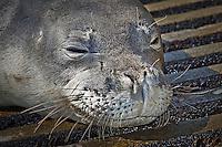 A close-up of a Hawaiian monk seal (Monachus schauinslandi) basking on a boat ramp, Honokohau Harbor, Kona Coast, Big Island