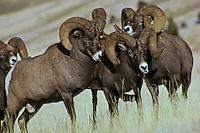 Rocky Mountain Bighorn Sheep rams.  Dominance behavior.  Western U.S., fall.