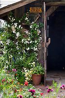 Charming rustic garden shed with old license plate, heirloom flowers, container plants, ornaments, climbing white rose Rosa, flowers, antique farm tools ornaments hanging on wall, lush garden with Cirsium rivulare 'Atropurpureum' , Linum, wonderful combination of old and growing