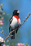 Rose-Breasted Grosbeak (Pheucticus ludovicianus) male singing amid apple blossom, New York USA<br /> Slide # B168-766