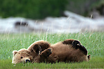 Brown bear, Katmai National Park, Alaska