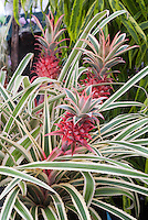 Variegated Pineapple Plant Ananas comosus 'Variegatus' in red fruited pineapple with green and white variegated foliage