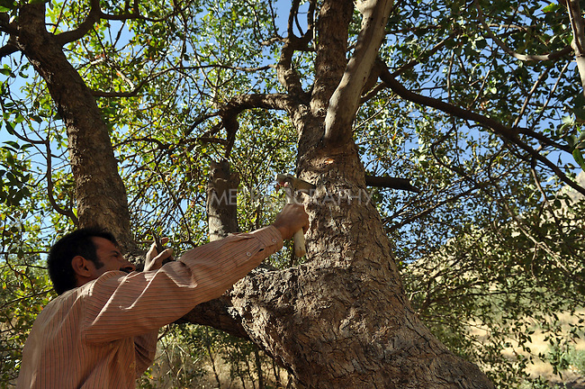 GALALA, IRAQ: Mohammad Abdul Rahman scars a tree's bark to extricate the sap which he will make into traditional Kurdish chewing gum.<br /> <br /> Bnysht, a Kurdish is chewing gum made from the sap of the Daraban tree.  The sap is only harvested during July and August for 6 weeks using clay cups to catch the liquid as it is drawn for the tree's bark.<br /> <br /> Photo by Aram Karim