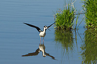 579500021 a wild black-necked stilt himantopus mexicanus stretches its wings in a pond in modoc national wildlife refuge california