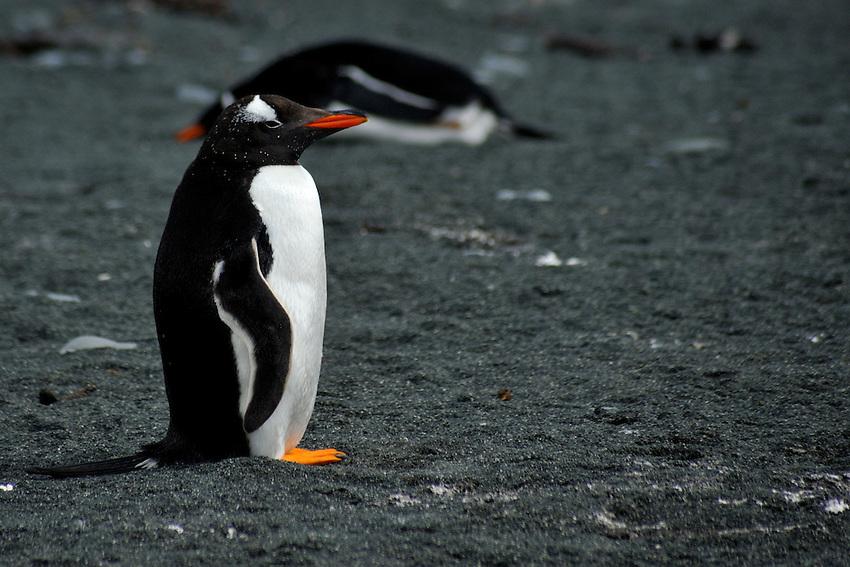 Solitary Splendor - A Gentoo penguin on Macquarie Island