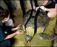 """BNPS.co.uk (01202 558833).Pic: RachelAdams/BNPS..In the swim...Sealife staff fit Ali's new belt...Ali the rescued Green turtle, that sadly used to float like a butterfly and swim like a bee, now has a new lease of life after staff at the Weymouth Sealife centre invented the worlds first dive belt for the endangered sea creatures...In 2001 Ali - named after the legendary boxer -was hit by a boat in Florida which left an air bubble under her shell that prevented her from submerging and causing her to float bottom up...Despite weighing 65 kilos, she was stranded on the surface...Now a team at Weymouth Sea Life Adventure Park in Dorset have created a pioneering belt with removable weights that works just like a diver's weight belt...The new invention is believed to be the first of its kind - and means Ali, thought to be 15-20 years old, can dive again...Fiona Smith, curator at Weymouth Sea Life Adventure Park, said: """"The common thing to do is to stick weights to injured turtles' shells to allow them to dive but where Ali's shell was in slightly worse condition because of her accident it wasn't that easy...""""My team and I started thinking about how else we could attach the weights, and came up with the idea of a harness...""""We took the idea to a nearby dive shop and they came back to us with a custom-built dive belt we could slip weights into..."""