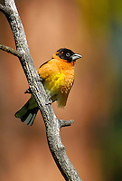 528660003 wild male black-headed grosbeak pheucticus melanocephalus perches on a tree limb in a national forest outside of yakima washington