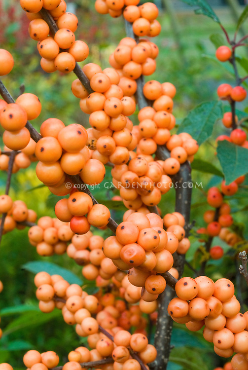 Ilex Verticillata Winter Gold Berry Fruit Plant
