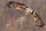 Common buzzard in flight, Hokkaido, Japan