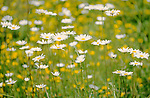 Ox-eye daisy leucanthemum vulgare, soft focus.United Kingdom....
