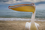 Great white pelican hand raised by camp owners on the shores of Lake Tanganyika, Tanzania