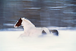 Open-range horse, Methow Valley, Washington, USA