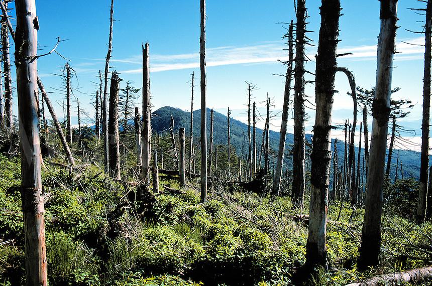 Acid rain damage on Mt. Mitchell, North Carolina. pollution, environment, ecology, trees, forest, mountain. NC United States.