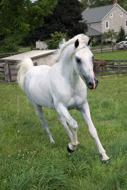today's best horse pic, white Arabian Running