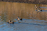 Two pairs of Wood Ducks swim near Lake Nokomis in October