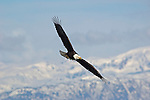 A bald eagle backdropped by snow-covered mountains in Homer, Alaska.