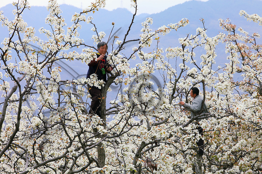Hand Pollinating the Peach Tree (with dog hair)