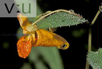 Touch-Me-Not or Jewelweed (Impatiens capensis), North America.