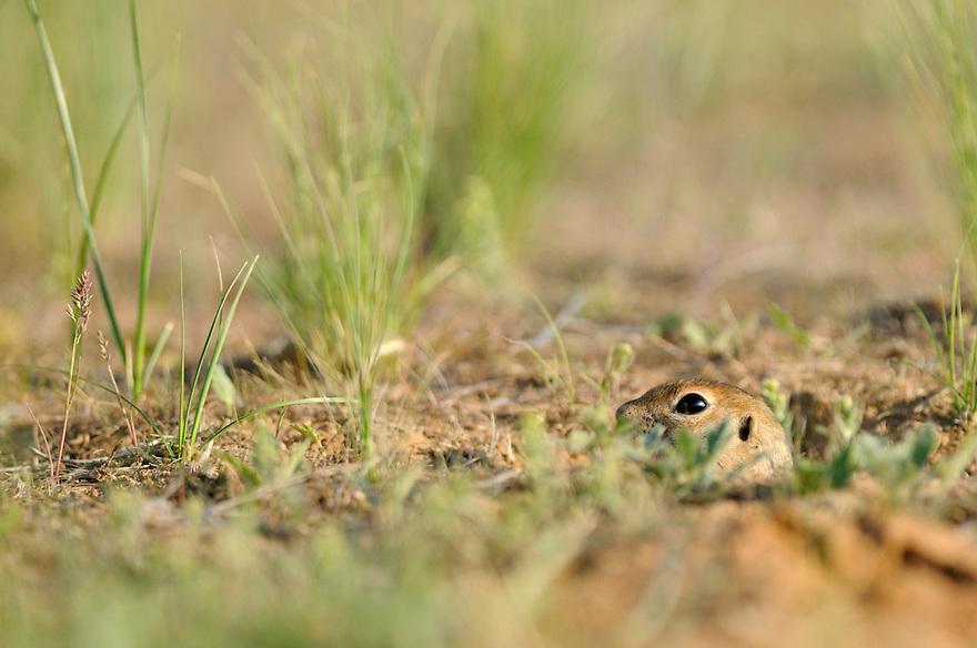 Rodent, Rostovsky Nature Reserve, Rostov Region, Russia