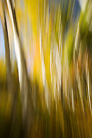 Birch woods abstract #2.