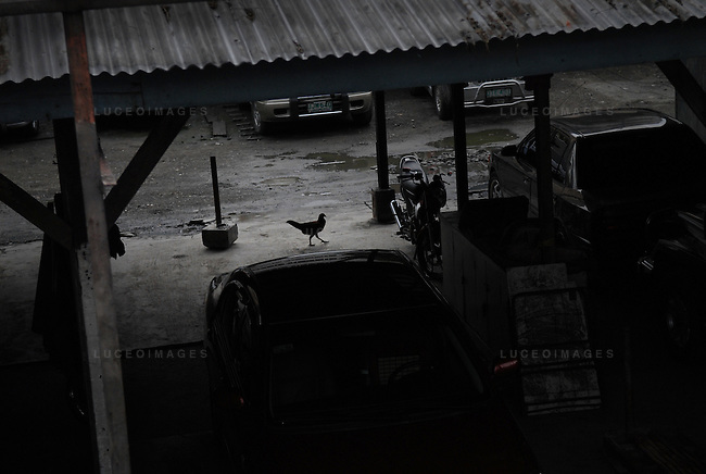 A chicken walks through a parking lot in Manila, Philippines..**For more information contact Kevin German at kevin@kevingerman.com
