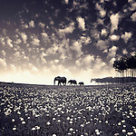 Three elephants walking along horizon in field of small flowers with summer sky