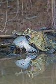 Yacare Caiman (Caiman yacare) with fish prey, Pantanal, Mato Grosso, Brazil