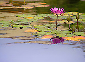 A pink water lily is reflected amongst lily pads in a koi fish pond in Waikoloa, Big Island.
