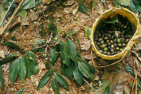 Use of forest products by Indians of Guiana Highlands of Venezuela: gathering of wild fruit eaten after light cooking: Dacryodes sp. (Burseraceae).