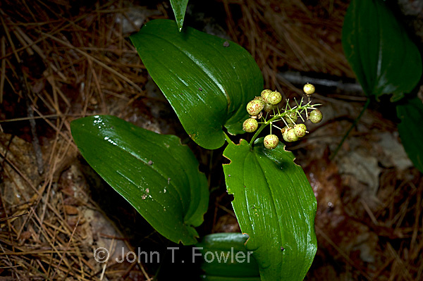 Wild Lily of the Valley, Canada Mayflower.  Maianthemum canadense