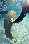 Touching Baby Manatee, Three Sisters Spring