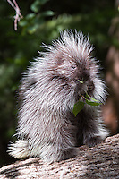 Baby Porcupine eating leaves on a log - CA