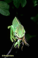 CH19-043z  African Chameleon - eating prey it caught with long tongue - Chameleo senegalensis