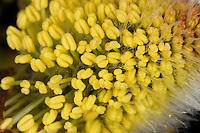 Sal-Weide, Blüten-Kätzchen, Weidenkätzchen, Staubbeutel mit Pollen, Weiden-Kätzchen, Kätzchen, männliche Blüten, Salweide, Saalweide, Weide, Salix caprea, Goat Willow, Pussy Willow, Sallow