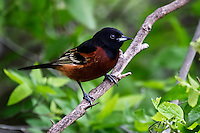 Orchard Oriole perched on limb