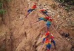 Scarlet &amp; green-winged macaws on lick, Tambopata River region, Peru
