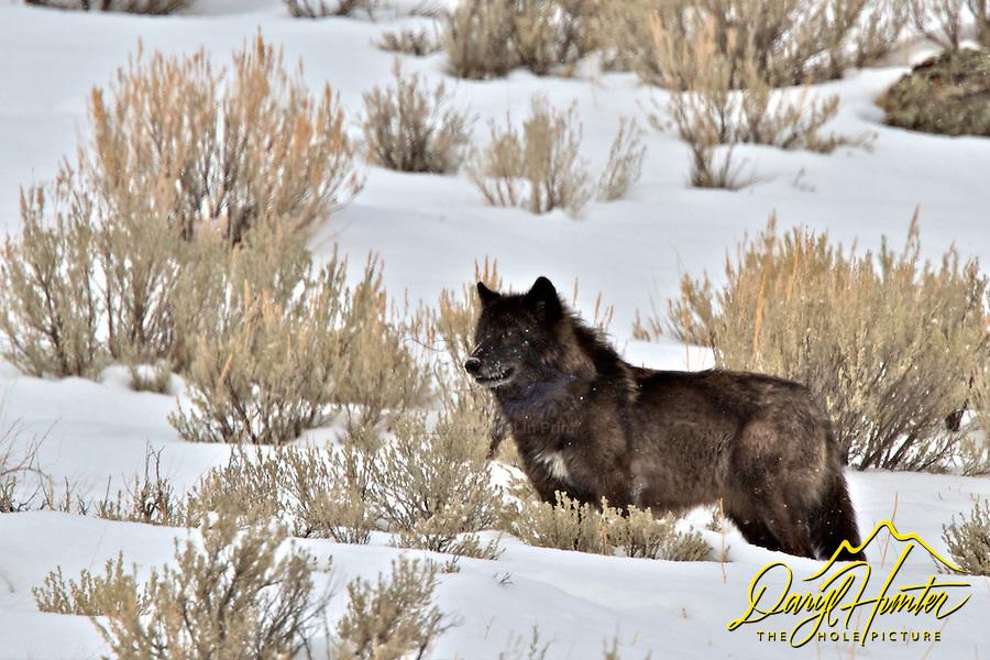 Black Wolf, winter,  Jackson Hole, Wyoming