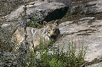 Wolf, Canis lupus, gray wolf