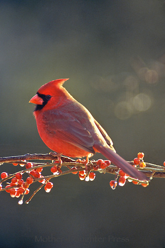 Male northern cardinal, Cardinal cardinalis, perches on branch of icy holly berries in afternoon light
