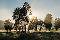 Morning sunrays beaming through kahikatea trees on Fox Glacier farmland, Westland Tai Poutini National Park, West Coast, South Westland, UNESCO World Heritage Area, New Zealand, NZ