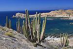 Cardon cacti at Isla Santa Catalina
